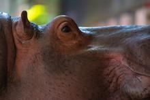 Side View Closeup Portrait Hippopotamus (Hippopotamus Amphibius)