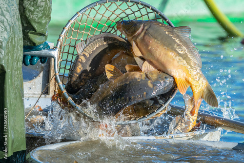 Fishing pond - sorting fish carp and other fish Canvas-taulu