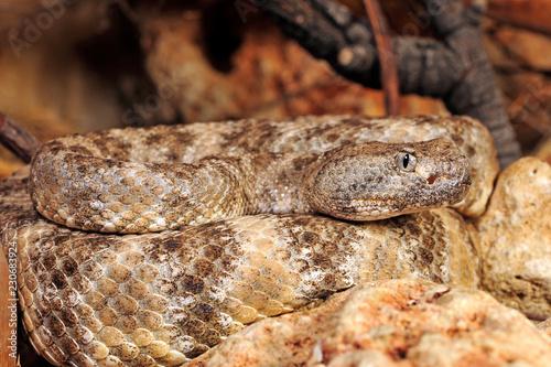 Gefleckte Klapperschlange (Crotalus mitchellii pyrrhus) - speckled rattlesnake