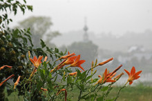 Orange Lilies With Drops In The Rain