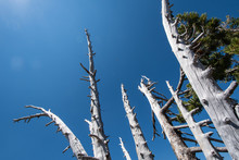 Whitebark Pine Trees Looking U...