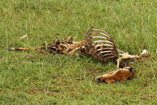 Dead And Rotting Gazelle Carcass
