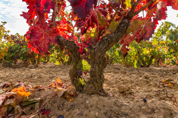 Vineyard tree closeup in autumn