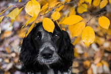 Dog Russian Spaniel Breed In The Autumn