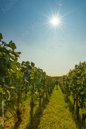Weinberge im Kaiserstuhl, in der Ferne Wanderer