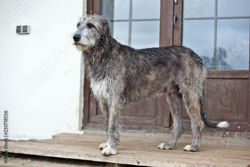 Fotomural Dog breed  irish wolfhound  is standing near the door