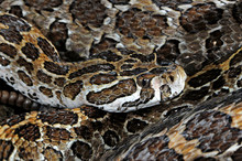 Mexikanische Lanzenkopf-Klapperschlange (Crotalus Polystictus) Im Terrarium - Mexican Lance-headed Rattlesnake