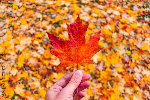 Fotografie, Obraz  Single Maple Leaf Held over a Pile of Colorful Leaves during Autumn