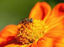 Flower Fly Collecting Pollen O...