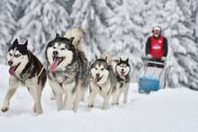 Sled Dogs Cup, Nice Dogs, Nice...