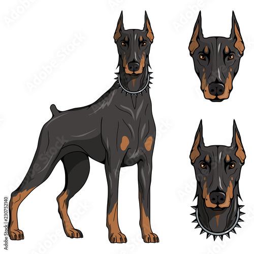 Fototapeta doberman pinscher, american doberman, pet logo, dog doberman, colored pets for d