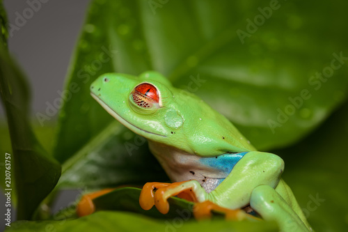 Tuinposter Kikker Red eyed tree frog on a coffee plant