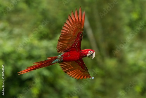 Photo  Red parrot in flight