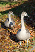 Beautiful Couple Of Young Gray Colored Cygnus Olor (mute Swan, Hockerschwan) On A Warm And Sunny Autumn Day