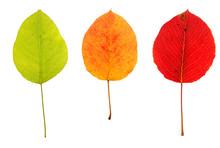 Three Multicolored Autumn Leav...