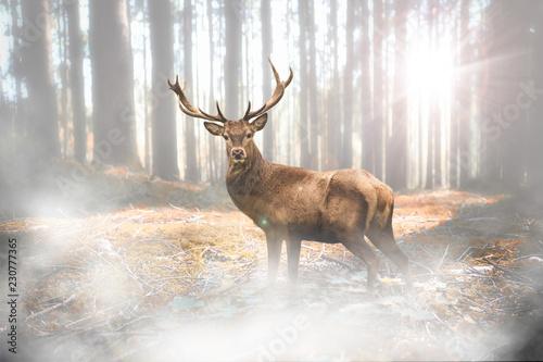 Foto auf Leinwand Hirsch Hirsch bei Nebel im herbstlichen Wald bei Lichteinfall