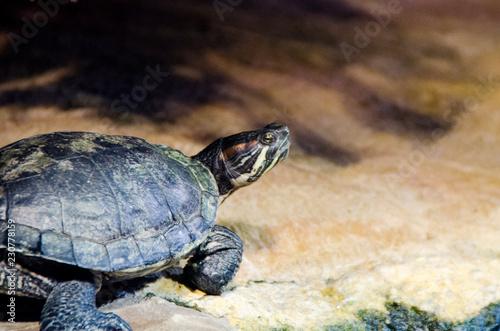 Foto op Aluminium Schildpad Close up portrait of a turtle