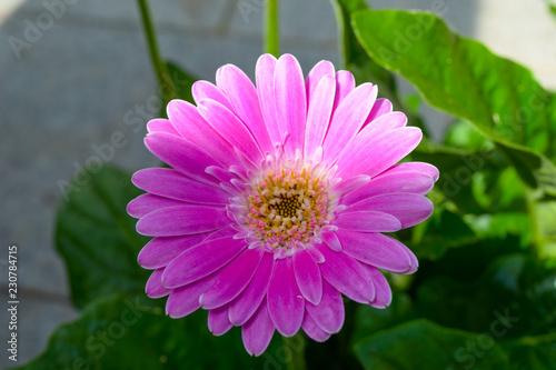 Gerbera flower, gerbera blossom pink