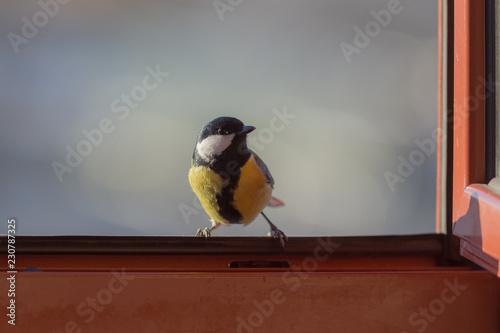 Fototapeta premium ciekawska sikorka w otwartym oknie