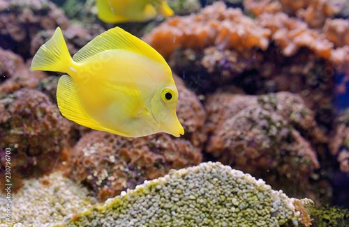 Fotografie, Tablou  Zebrasoma fish and corals