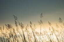 Grasses Sunset