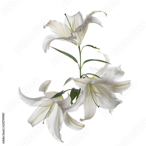 Fotografía  A branch of white lily flowers is isolated.
