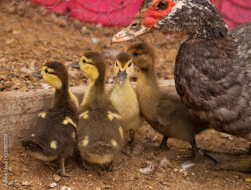 Muscovy Mother Duck and Baby Ducklings - Buy this stock