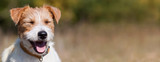 Fototapeta Zwierzęta - Web banner of a happy smiling jack russell pet dog puppy with blank, copy space