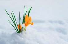 Beautiful Snowdrop Flower Yellow Crocus Makes Its Way From Under A White Snow In Early Spring In A Clear Park