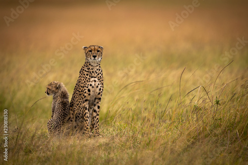 Cheetah sits side-by-side with cub in grassland Wallpaper Mural