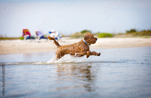 Valokuva Miniature golden doodle splashing in water