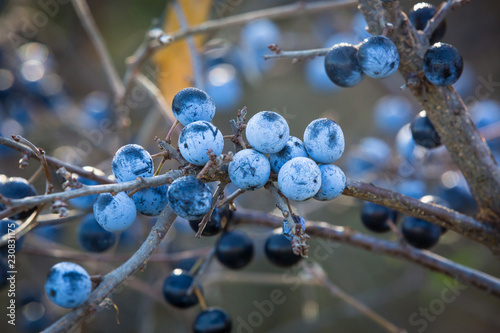 Photo  Thorn branch with ripe berries