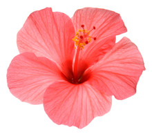Pink Hibiscus Flower Isolated ...