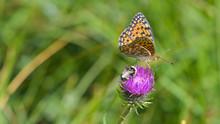 Farfalla Sul Fiore Di Cardo Viola In Estate Sul Prato