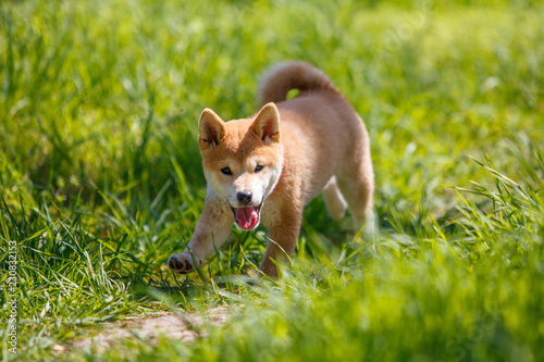 Obraz na plátne  playfull red shiba inu puppy in the grass