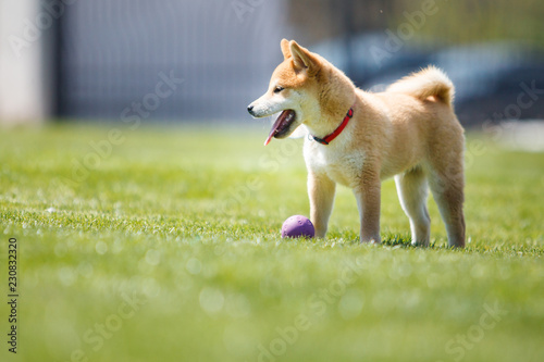 Fotografie, Tablou playfull red shiba inu puppy in the grass