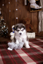 Cute Husky Puppy In New Year's...