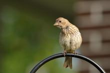 A Female House Finch Perches Near The Seed Feeder In My Yard.