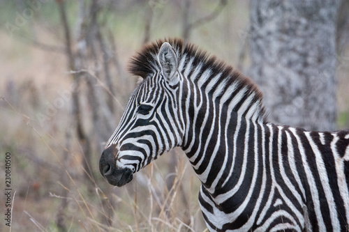 Portrait of plains zebra (Equus quagga) in trees in the Timbavati, Greater Kruger, South Africa
