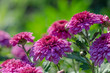 Chrysanthemum with dew drops. Purple flowers in the garden.
