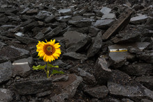 Sunflower Growing On A Pile Of...