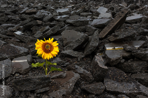 Photo  Sunflower growing on a Pile of Rubble