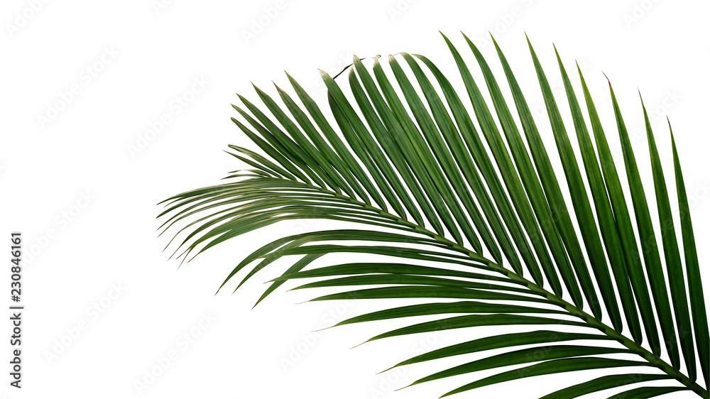 Fototapety, obrazy: Green leaves of nipa palm or mangrove palm (Nypa fruticans) tropical evergreen plant isolated on white background, clipping path included.