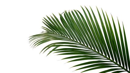 Zeleni listovi palme nipa ili palme mangrove (Nypa fruticans) tropske zimzelene biljke izolirane na bijeloj podlozi, uključujući urezan put.