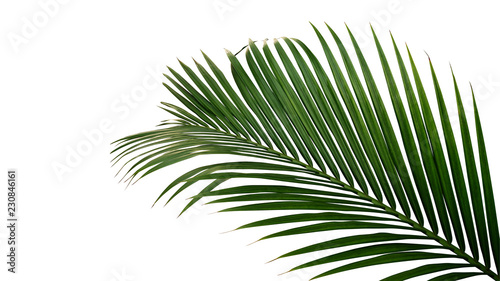Green leaves of nipa palm or mangrove palm (Nypa fruticans) tropical evergreen plant isolated on white background, clipping path included.