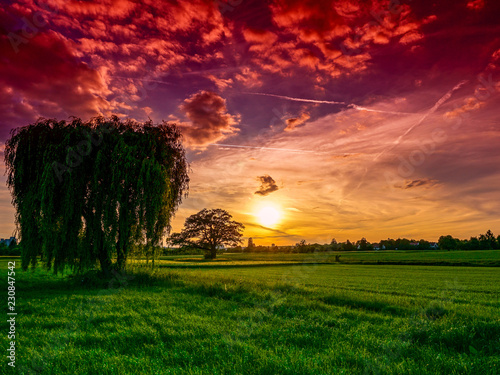 Fotografija Weeping willow in the sunset