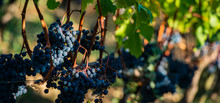 Close Up On Red Black Grapes In A Vineyard, Grape Harvest Concept