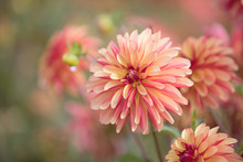Photograph Of A Coral Colored Dahlia In The Garden