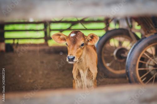 Newborn calf on farm (blurred background). Fototapete