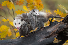 Opossum (Didelphimorphia) Walks Left On Log With Load Of Joeys And Open Mouth
